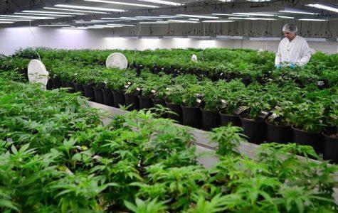 Marijuana Use and Sensibility