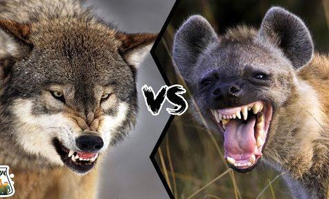 Animal Kingdom Smackdown: Wolf V. Hyena