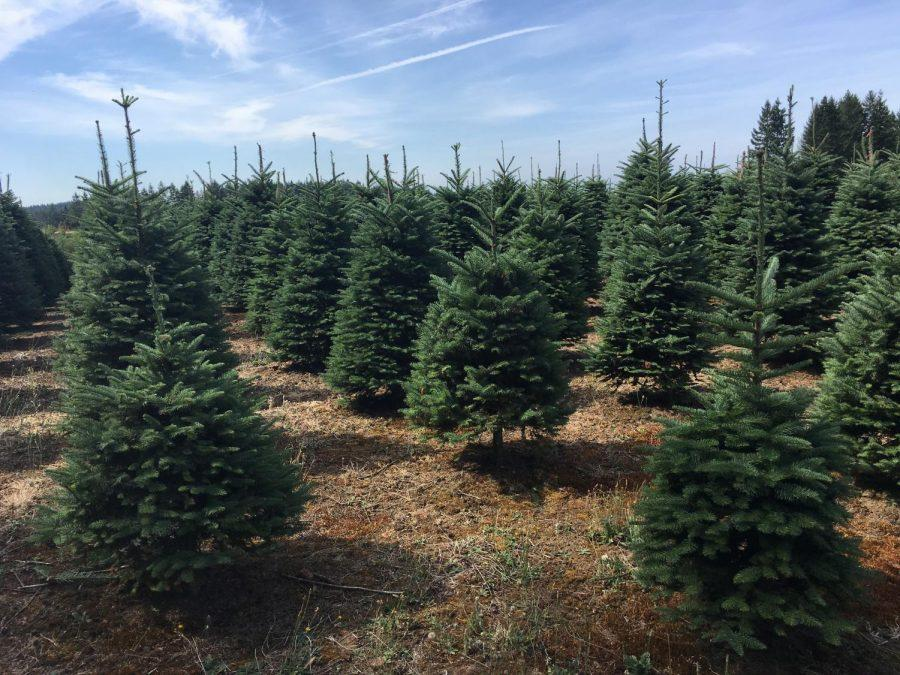 Christmas+Tree+Drought