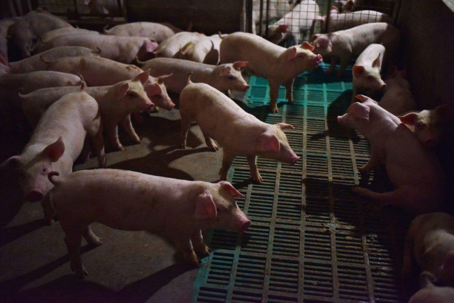 China's Pork Industry Threatened by Swine Fever