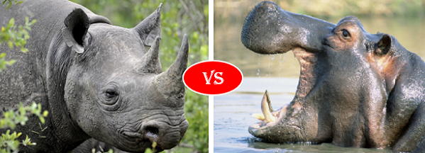 Animal Kingdom Smackdown: Rhino Vs. Hippo