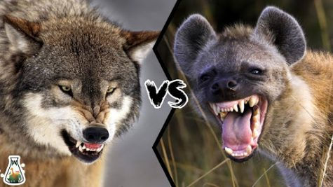 Animal Kingdom Smackdown: Wolf V. Hyena
