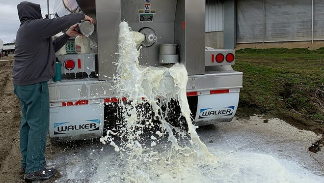 Farmer dumping extra supply of milk that is getting wasted.